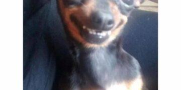 pinscher sorrindo